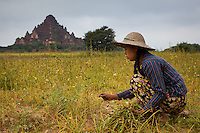 farmgirl in Bagan, Myanmar