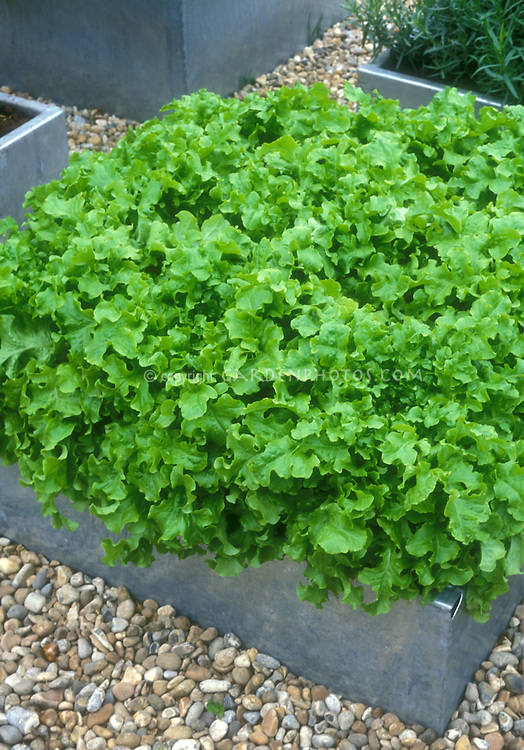 Container garden of leaf lettuces, in galvanized steel raised bed on pebbles on a roof garden