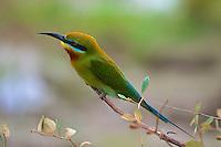 Blue-tailed Bee-eater (Merops philippinus) Yala National Park, Sri Lanka