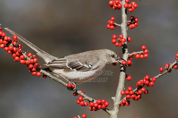 Northern Mockingbird (Mimus polyglottos), adult eating Possum Haw Holly (Ilex decidua) berries, Bandera, Hill Country, Texas, USA