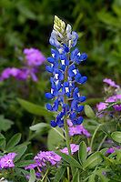 Texas Bluebonnet with Pink Phlox