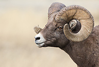 The bighorn rut usually occurs sometime between late November and early December.  During that time, sheep congregate, rams keep an eye on their rivals, face off with each other and chase females.