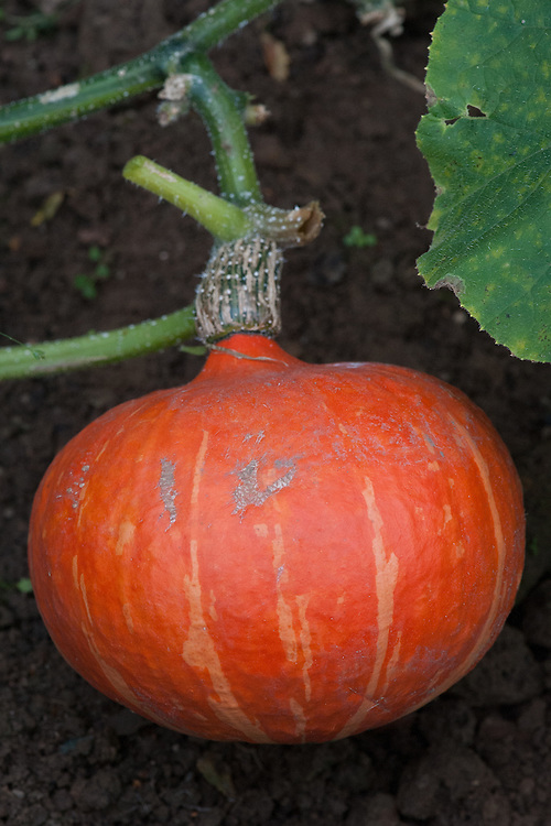 Squash 'Orange Queen', a small 'kabocha' type with orange skin and sweet orange-yellow flesh, mid October.