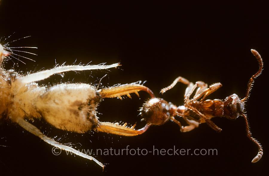 Ameisenjungfer, Larve, Ameisenlöwe, Ameisen-Löwe, mit erbeuteter Ameise, Ameisenjungfern, Myrmeleontidae, antlion, antlions