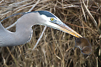 We witnessed this great blue heron hunting for voles in the Reifel Bird Sanctuary.
