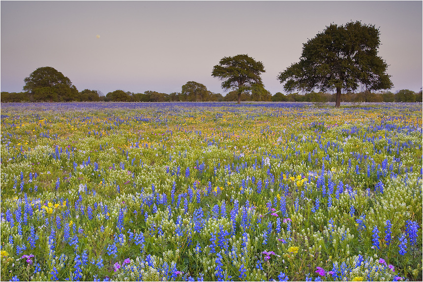 On a dirt road near Natalia, Texas, the moon rises over a field of bluebonnets and other texas wildflowers. This image was captured in very late March - a fairly early bloom for bluebonnets. The colors were vibrant and the smell of flowers permeated the air.