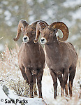 Two bighorn sheep rams during the rut. Yellowstone National Park, Wyoming.