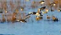 Duck - Wigeons