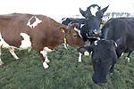 Foto: VidiPhoto<br /> <br /> WAARDENBURG – Terwijl op enkele meters afstand het verkeer op de A2 voorbijraast, inspecteert melkveehouder Dirk van Os uit het Gelderse Waardenburg dinsdag zijn grazende en genietende koeien. De dieren zijn sinds zaterdag al buiten, vroeger dan ooit. Omdat het weiland kurkdroog is en het gras al groeit, mogen de dames iedere dag naar buiten. Pas als de winter terugkeert of het flink gaat regenen, gaat het vee weer een tijdje op stal. De dieren genieten zichtbaar van het uitzonderlijk vroege voorjaar. Voor zover bekend is Van Os de eerste melkveehouder die zijn koeien nu al naar buiten doet.