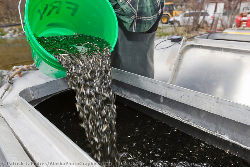 Technician at the Gulkana hatchery puts sockeye salmon fry into oxygenated tanks to be transferred into the crop duster airplane for relocation to a nearby lake.