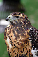 As part of a falconry exhibition, I captured this hawk with a telephoto lens in northern Spain