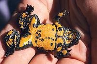 Gelbbauchunke, Gelbbauch-Unke, Bergunke, auf der Hand, Unterseite mit Warnfarben, Unke, Unken, Bombina variegata, yellow-bellied toad, yellowbelly toad, variegated fire-toad