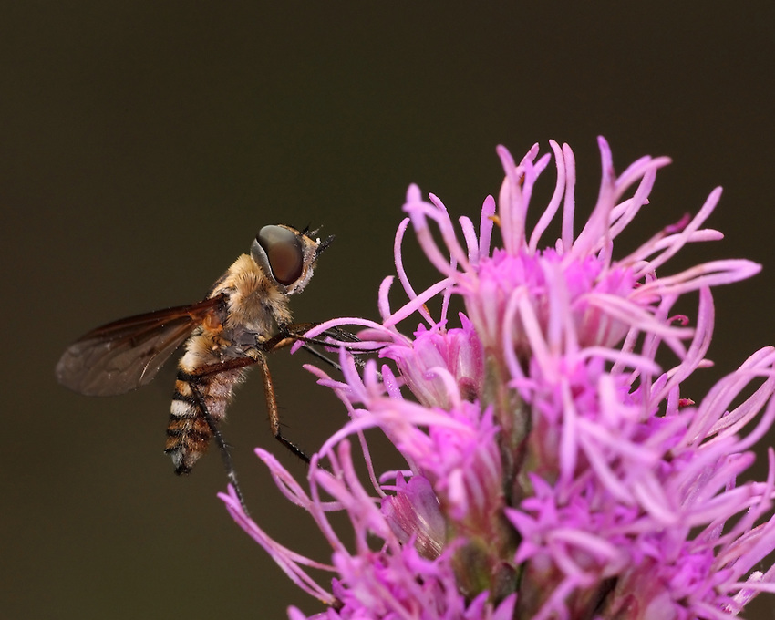 Hoverflies, sometimes called flower flies or syrphid flies, make up the insect family Syrphidae. Seen here on the tip of a Liatris flower.