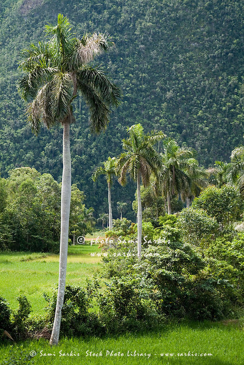 Grove of coconuts trees in the Vinales Valley, Cuba.