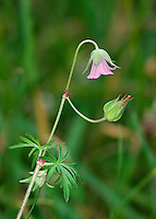 LONG-STALKED CRANE'S-BILL Geranium columbinum (Geraniaceae) Height to 60cm. Elegant, hairy annual that is sometimes tinged red. Found on short, dry grassland, mainly on calcareous soils. FLOWERS are 12-18mm across with pink petals that are not notched; borne on long, slender stalks (Jun-Aug). FRUITS are hairless and smooth. LEAVES are divided to the base, the lower ones long-stalked. STATUS-Local.