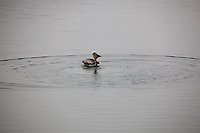 A brown pelican dives, eats then flies on at Pillar Point Harbor.