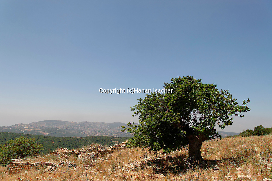Israel, the Upper Galilee. Black Mulberry tree (Morus nigra) on Mount Meron