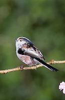 Schwanzmeise, Schwanz-Meise, Meise, Aegithalos caudatus, long-tailed tit