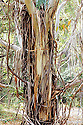 Manna Gum (Eucalyptus viminalis), trunk with shedding bark. Tidbinbilla Nature Reserve, Australian Capital Territory