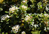 Bees on flowers, March 28, 2018.<br /> (Photo by Marc Campos, Occidental College Photographer)