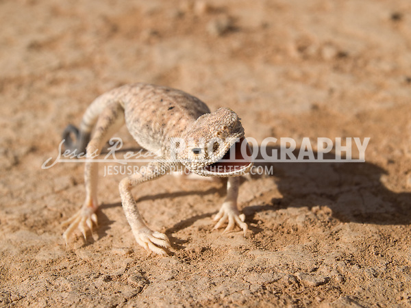 Arabian Toad-headed Agama. <br />