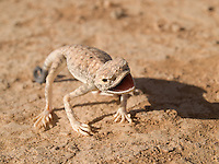 Arabian Toad-headed Agama. <br /> <br /> This Arabian toad-headed agama lives in the hot lands of the south of Jordan.
