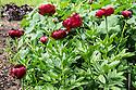 Red Peonies in bloom in Regent's Park, London, UK.