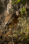 A near fully fledged Bonelli´s Eagle chick standing in nest.