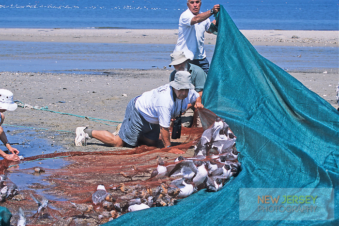 Wildlife biologists, netting and banding shorebirds.  Reed's Beach, New Jersey
