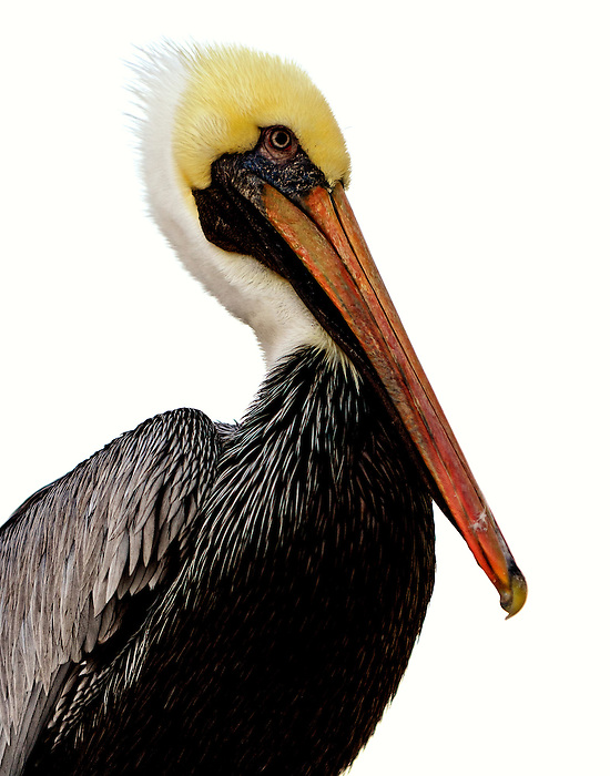 Pelican Portrait at Fort Myers Beach, Florida