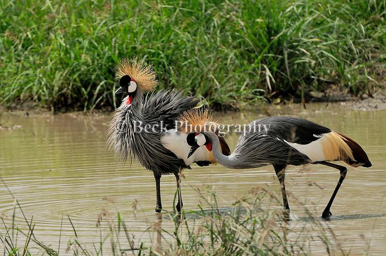 Africa  Lake Manyara   Gray Crowned Crane