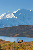 Bull caribou on the tundra with Wonder Lake and Mt. Denali in the distance, Denali National Park, Alaska.