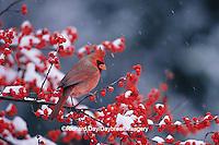 01530-17505 Northern Cardinal (Cardinalis cardinalis) male in Common Winterberry (Ilex verticillata) in winter Marion Co. IL
