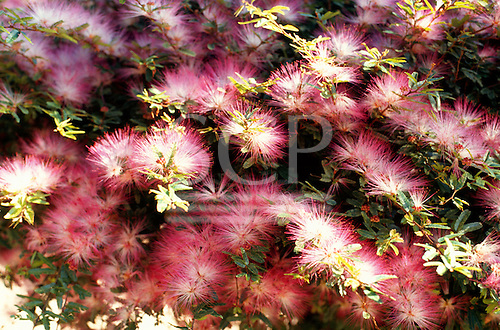Amazon, Brazil. Flowers of a Calliandra sp., a member of the mimosa family.
