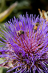 HONEY BEES, APIS MELLIFERA, POLLENATE CYNARA CARDUNCULUS, CARDOON