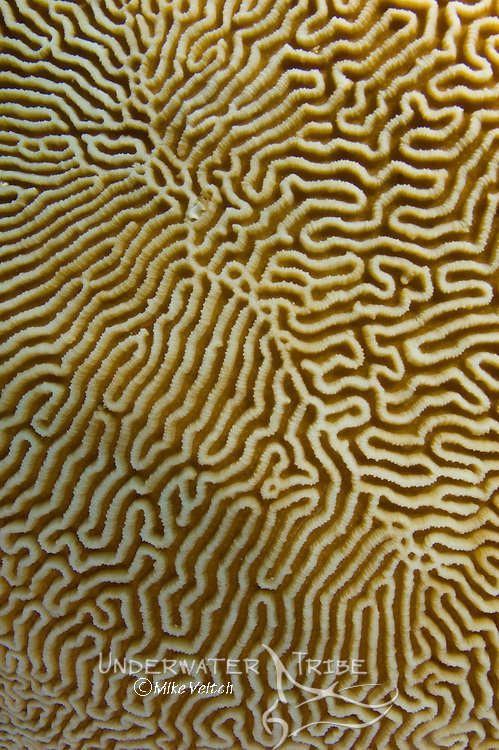 Brain Coral detail, Platygyra sp., Layang Layang atoll, Sabah, Borneo, Malaysia, Pacific Ocean