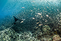 Reef manta ray (Mobula alfredi) in a school of akule (Selar crumenophtalmus) Kona, Hawaii, USA