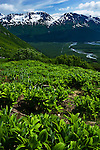 Green Plants along Harding Icefield Trail during summer