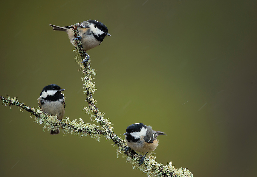 Crested tits Parus cristatus, adults perched on lichen covered branch, Cairngorms National Park, Scotland, UK, January