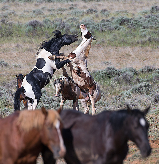 I was fortunate to spend time with a band of ninety or so wild horses in the McCullough Peaks range east of Cody.  It was my best shoot with the horses to date.