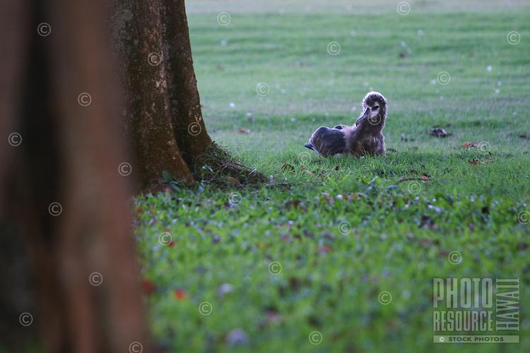 Baby albatross on a golf course in Princeville, Kauai