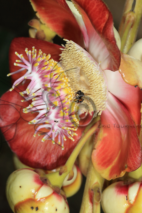 A Couroupita guianensis flower (Bola de canon) visited by a Tetragonisca angustula bee.///Une fleur de Couroupita guianensis (Bola de canon) visité par une Tetragonisca angustula.