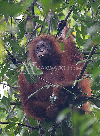 I was fortunate to see six wild orangutans during my visit to the Borneo Rainforest Lodge.  It's one of the most difficult subjects I've ever tried to photograph.I saw several red leaf monkeys in Borneo, many of which had white fur.
