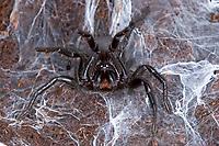 Europäische Trichternetzvogelspinne, Trichternetz-Vogelspinne, Trichternetzspinne, Macrothele calpeiana, Mygale calpeiana, Gibraltar funnel-web spider, Spanish funnel-web spider, Hexathelidae, Macrothelidae