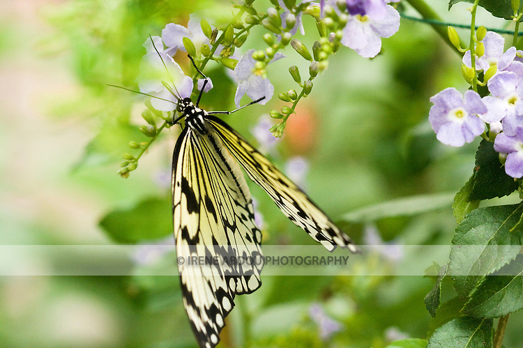 "Each year, the award-winning Brookside Gardens in Silver Spring, Maryland hosts a ""Wings of Fancy"" butterfly exhibit in its Conservatory."