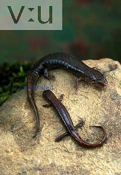 Northen Dusky Salamander (Desmognathus fuscus), Shenandoah National Park, Virginia.