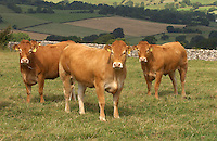 Pedigree Limousin beef heifers at Hesket Newmarket, Cumbria.