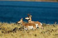 Pronghorn (Antilocapra americana) buck approaching doe during fall rut.  Western U.S.