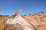 Karoo Girdled Lizard (Cordylus polyzonus), South Africa