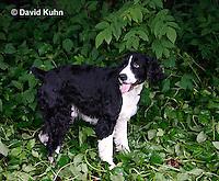 0808-0818  English Springer Spaniel, Canis lupus familiaris © David Kuhn/Dwight Kuhn Photography.